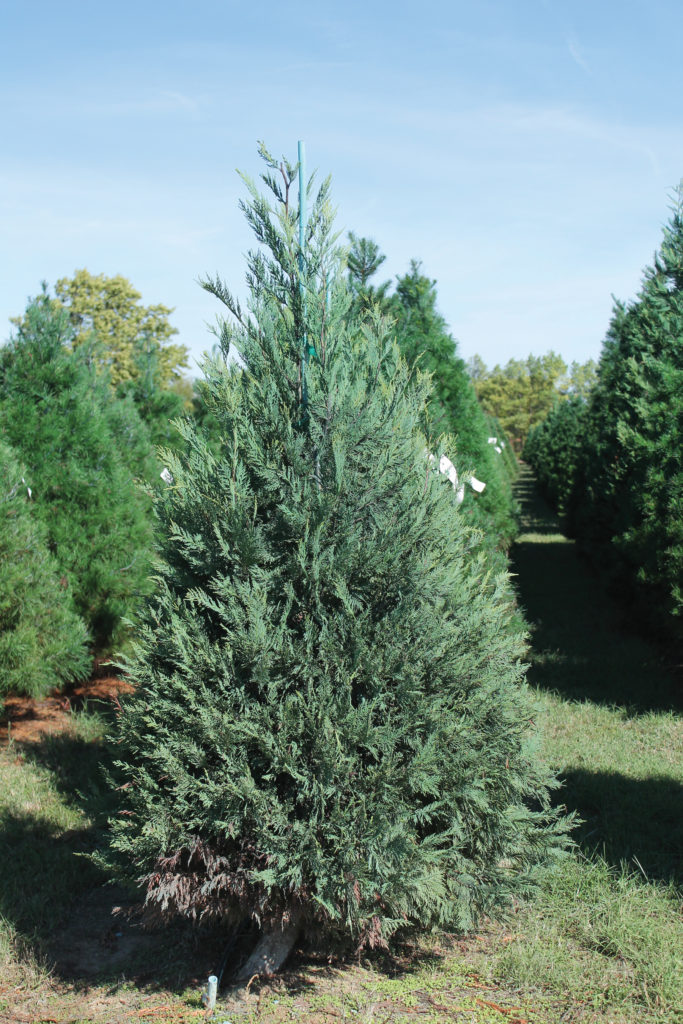 The Leyland Cypress is a southern species, and Oklahoma is at the northern range of its habitat.