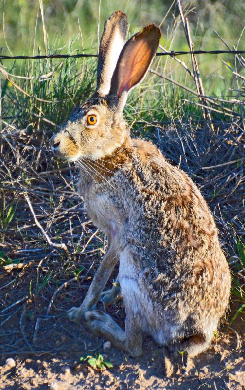 Two jackrabbits like this one were infected with tularemia at Altus Air Force Base. (JENA DONNELL/ODWC)